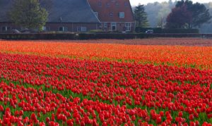 Flevoland flower region