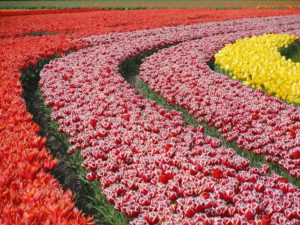 Dutch bulb fields