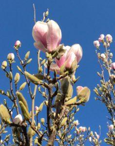 Spring flowering Magnolia at Westonbirt Arboretum