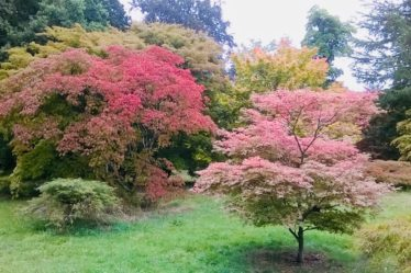 Acre trees in their summer foliage at Westonbirt Arboretum