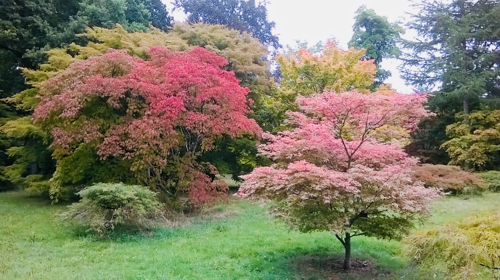 Westonbirt Arboretum. Acer trees in their summer foliage at Westonbirt Arboretum