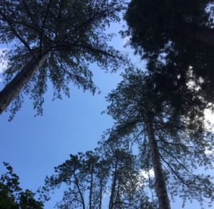 View, looking up through the branches of towering cedar trees at Westonbirt Arboretum