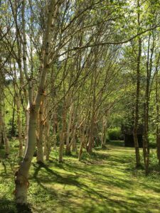 Stone Lane Gardens Birch Tree Plant Collection Gardens to Visit In Devon
