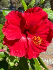Beautiful Botanical Gardens Sicily. Red Hibiscus